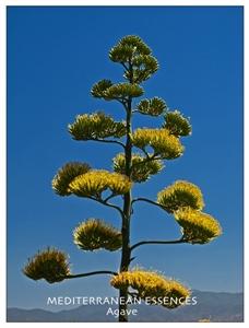 med agave