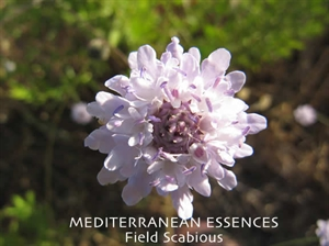 med field scabious